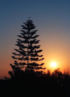 Sol, com, árvore pinho