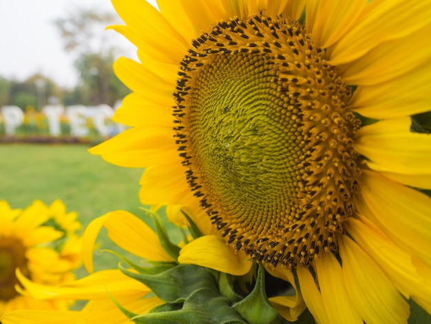 Sol, flores, em, campo