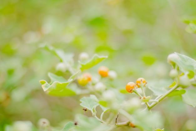 Solanum incanum cresce em fazenda local