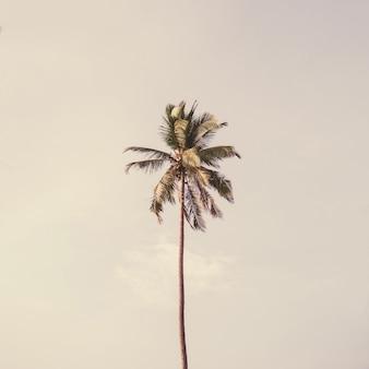 Solitário um coqueiro tropical exótico contra o grande céu azul. neutro com cores retro brilhantes e violetas de amarelo e roxo. conceito de verão e viagens em phuket