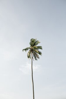 Solitário um coqueiro tropical exótico contra o grande céu azul. neutro. conceito de verão e viagens em phuket