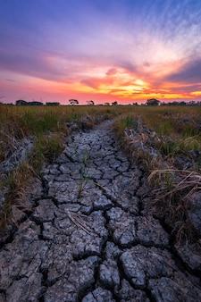 Solo seco marrom ou textura do solo rachado com milharal verde