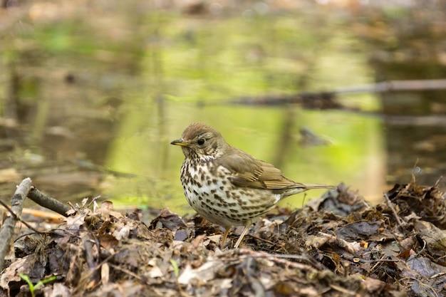 Songbird em uma grama