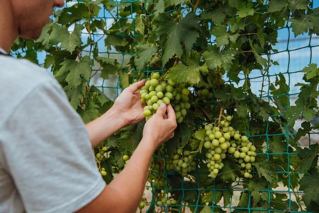 Sorrindo feliz proprietário jovem homem caucasiano trabalhando e jardinando sua fazenda, vinhas no outono. jovem está verificando o crescimento das uvas antes da colheita