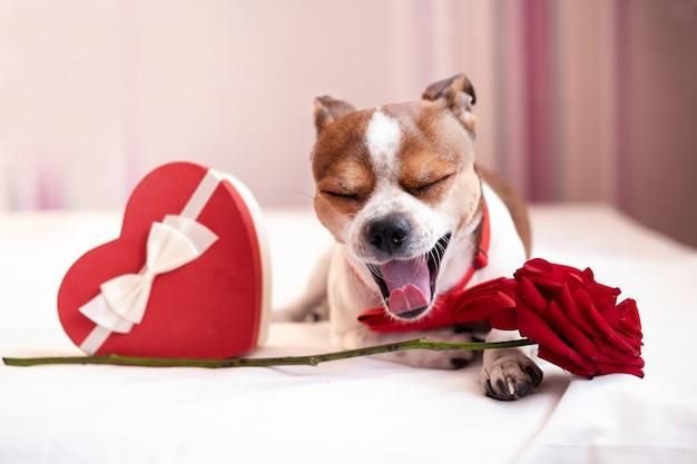 Sorriso engraçado cachorro chihuahua em gravata borboleta com fita branca de caixa de presente de coração vermelho deitado e rosa na cama branca. dia dos namorados. feche os olhos, abra a boca.