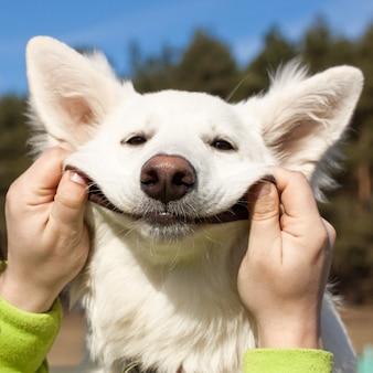Sorrisos de cão pastor suíço