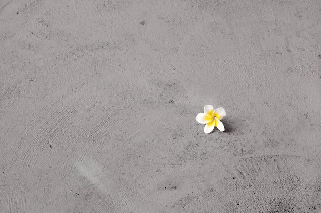 Sozinho branco e amarelo frangipani flores no chão de cimento - fundo