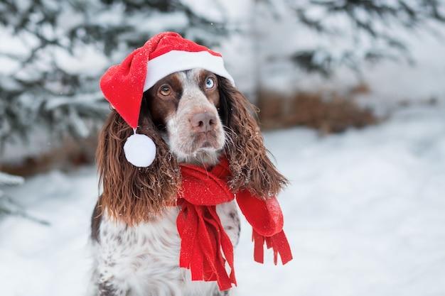Spaniel de chocolate com olhos diferentes com chapéu de papai noel e lenço vermelho na floresta de inverno