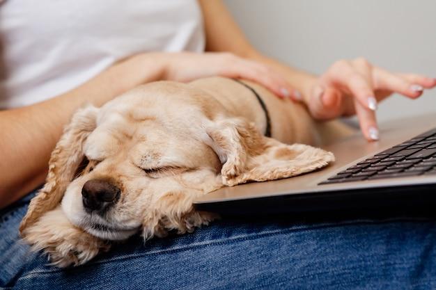 Spaniel está deitado no colo de uma garota, sentado em um laptop