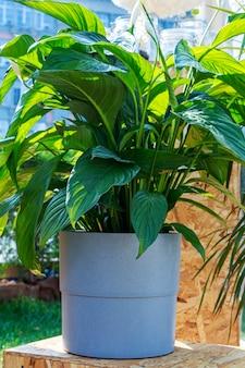 Spathiphyllum cochlearispathum. sempre-vivas perenes da família araceae, plantas caseiras populares em vasos ao ar livre.