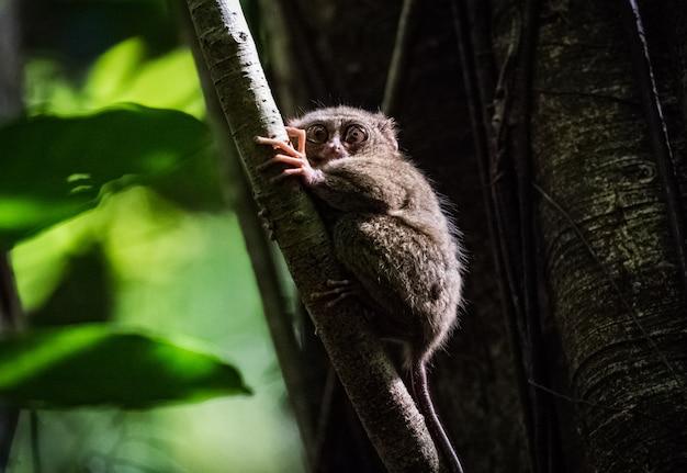 Spectral tarsier