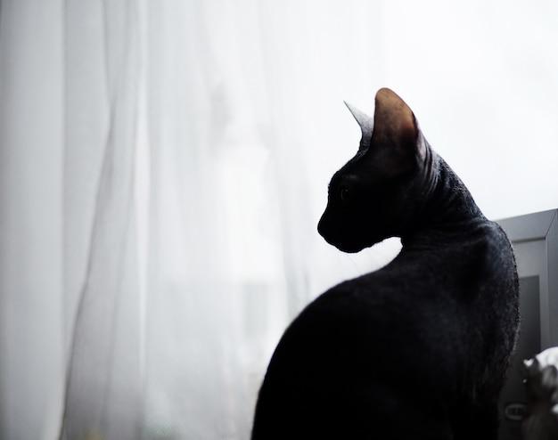 Sphynx cat funny standing no parapeito da janela