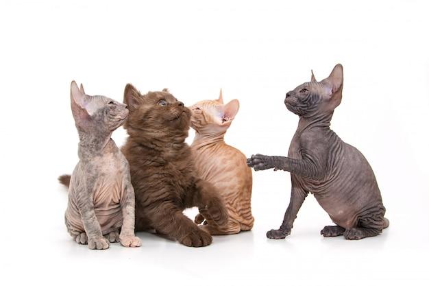 Sphynx e gatinhos britânicos