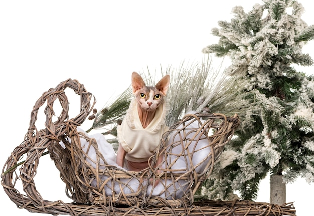 Sphynx em frente a um cenário de natal