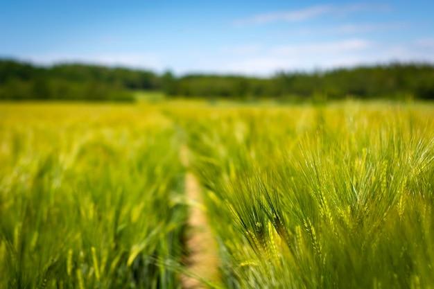 Spikelets da cevada verde da fabricação de cerveja em um campo.