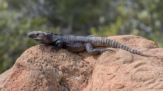 Spinytail iguana se aquecendo ao sol do arizona no topo de uma rocha do deserto