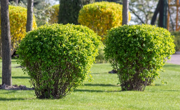Spirea bush na primavera no parque