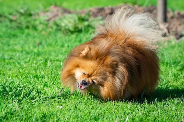 Spitz bonito do cão na natureza