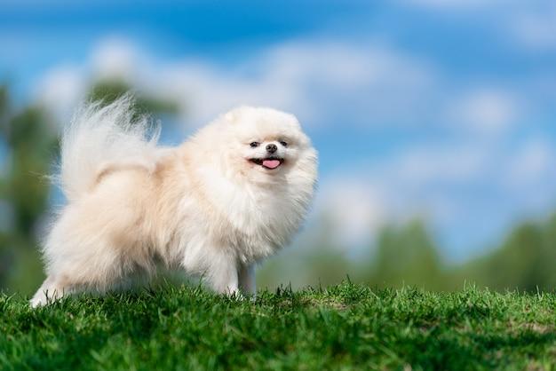 Spitz branco da raça do cão na grama verde no céu azul da nuvem.