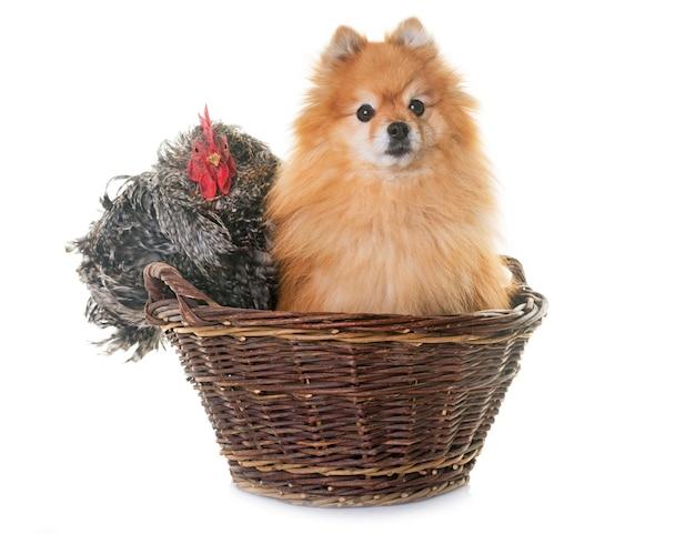 Spitz pomeranian e galinha