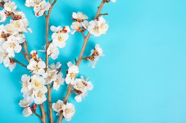 Sprigs da árvore de abricó com flores em um fundo azul.