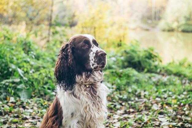 Springer inglês spaniel cachorro senta-se na floresta de outono