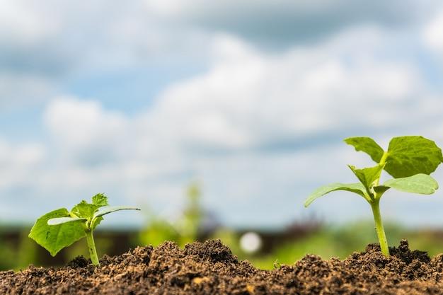 Sprouts verdes do crescimento em uma terra sob o céu azul.