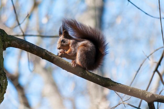 Squirrel em um ramo de árvore que come uma noz. primavera
