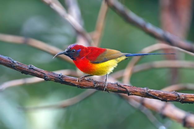 Sra. gould's sunbird aethopyga aves da tailândia