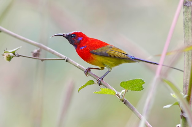 Sra. gould sunbird aethopyga gouldiae belo macho aves da tailândia