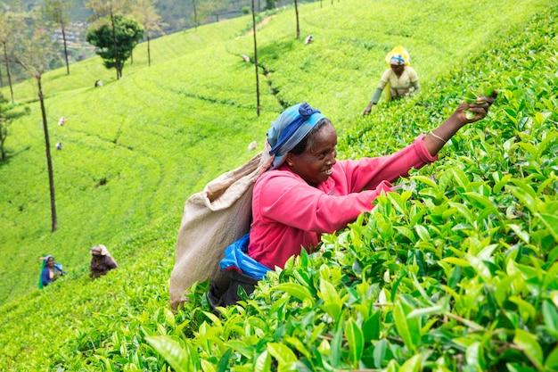 Sri lanka, nuwara eliya, mackwoods labookellie, plantação de chá, colhedores de chá no trabalho