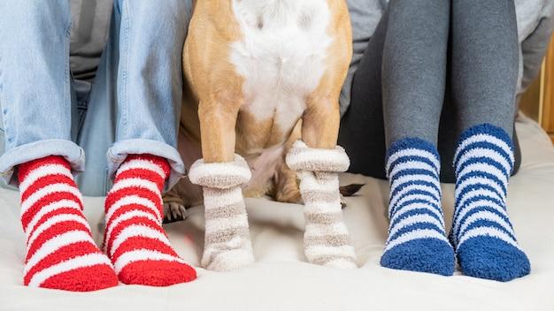 Staffordshire terrier e duas pessoas sentadas na cama usando meias listradas semelhantes. pet proprietários e cães em meias coloridas, sentado no quarto, o conceito de um cão como um membro da família.