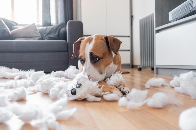 Staffordshire terrier encontra-se entre um brinquedo macio rasgado, olhar culpado engraçado