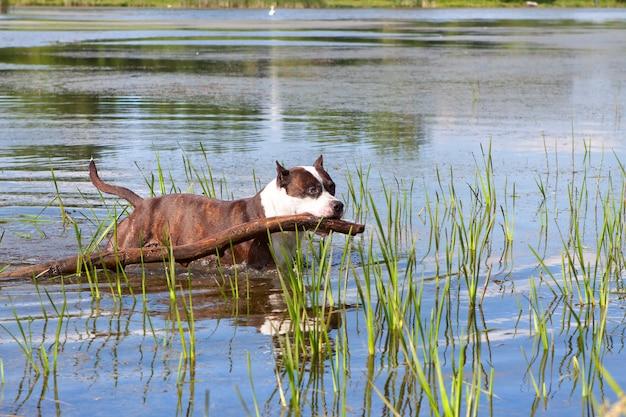 Staffordshire terrier nadando no rio