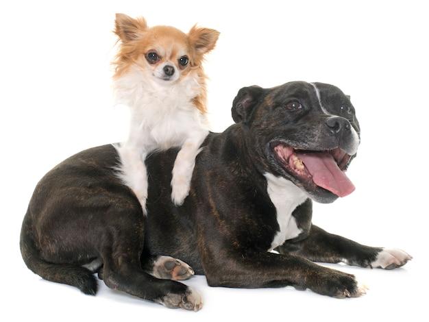 Stafforshire bull terrier e chihuahua