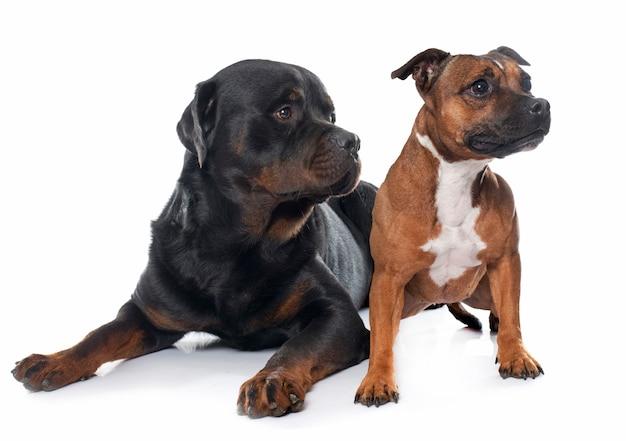 Stafforshire bull terrier e rottweiler