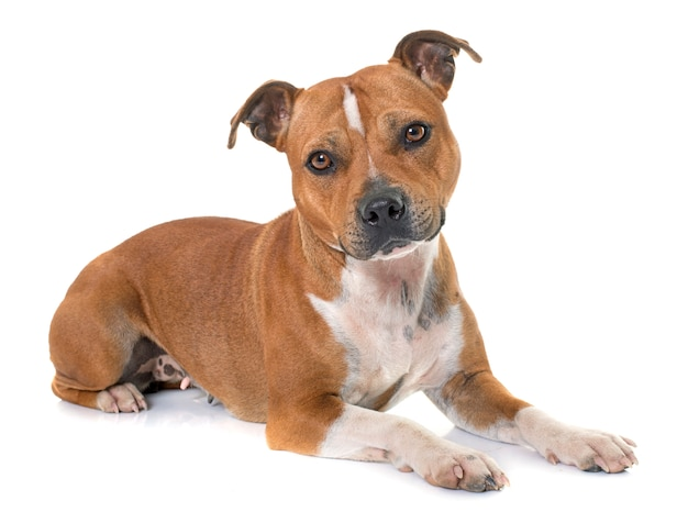 Stafforshire bull terrier