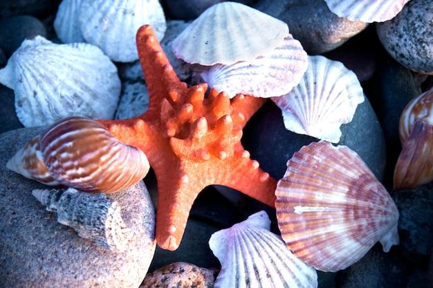 Starfish entre conchas
