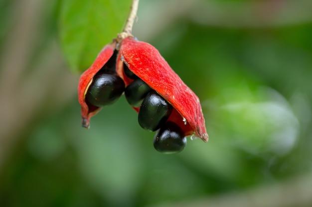 Sterculia monosperma, castanha tailandesa, castanha vermelha na árvore