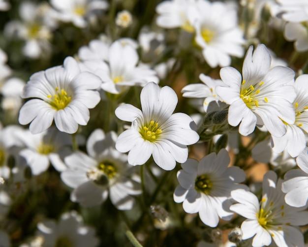 Stitchwort flores em um dia ensolarado