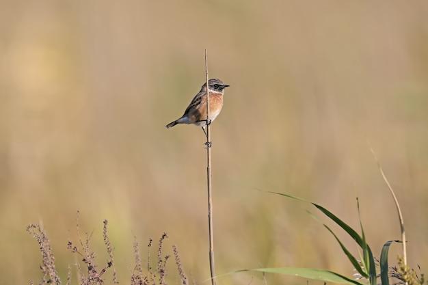 Stonechat europeu masculino (saxicola rubicola), tiro close-up em juncos e arbusto contra um belo fundo desfocado. foto detalhada de um pássaro com plumagem de inverno