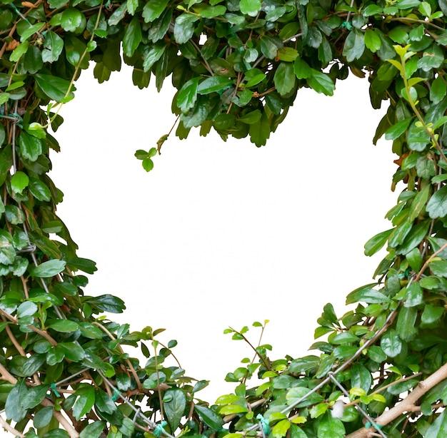 Streblus asper lour ou arbusto siamês áspero