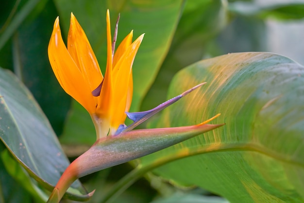 Strelizia. flor tropical.