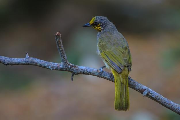 Stripe-throated bulbul bird, em pé em um galho na natureza