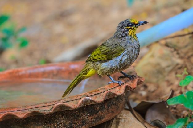 Stripe-throated bulbul bird, jogando água no verão em dias quentes