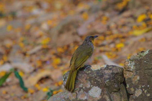 Stripe-throated bulbul pássaro, em pé em um galho na natureza da tailândia
