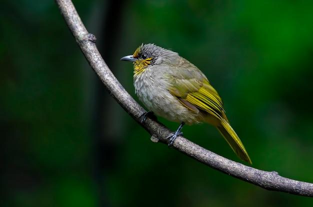 Stripe-throated bulbul pycnonotus finlaysoni belas aves da tailândia