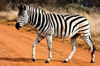 Strutting zebra exterior