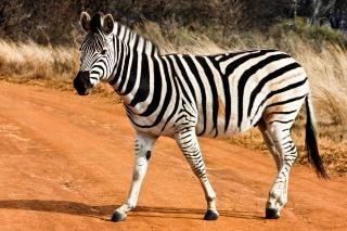 Strutting zebra reserva ao ar livre