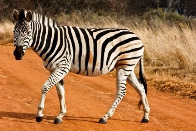 Strutting zebra